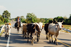 Cowboy & Cows in Road, Magdalena Colombia