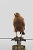 Aguilucho Colorado - Buteogallus meridionalis - Savanna Hawk by Jorge Schlemmer