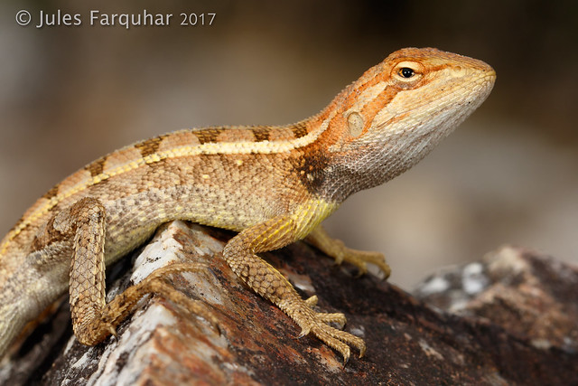 Black-throated Two-pored Dragon (Diporiphora jugularis)