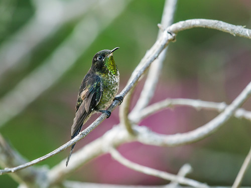 Black-backed Thornbill | by nickathanas