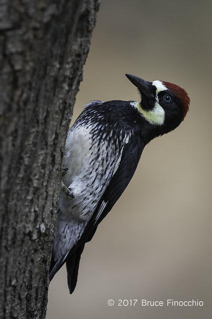 Male Acorn Woodpecker Peeks Around A Black Oak Tree Trunk