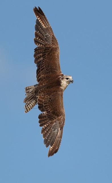 AG6I1247 Gyr Falcon