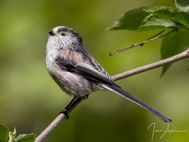 Longtailed Tit ( posing ) at Nene Park.