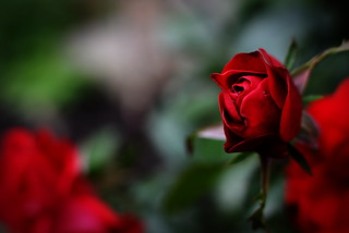 Red Rose | by jcubic