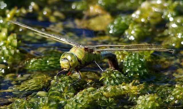 emperor dragonfly or blue emperor