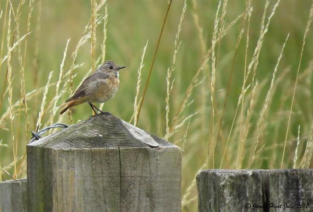 Redstart (Phoenicurus phoenicurus) Ivinghoe Beacon 25/07/17