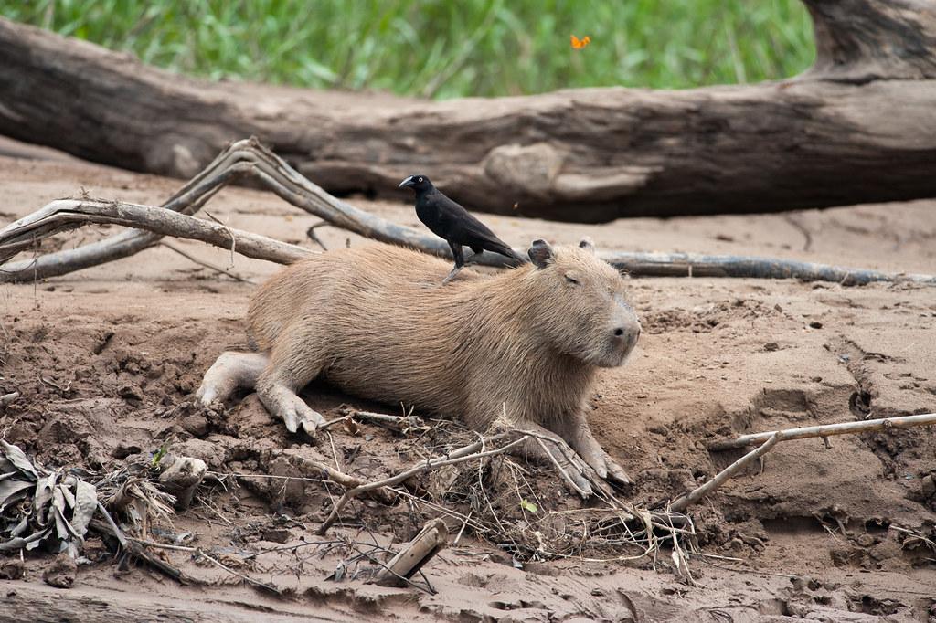 Capybara with Giant Cowbird