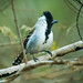 Typical Antbirds - Thamnophilidae