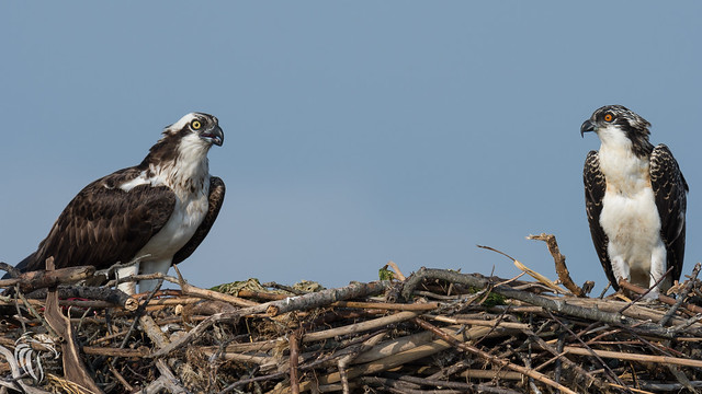 Osprey of Sandy Hook | 2017 - 43