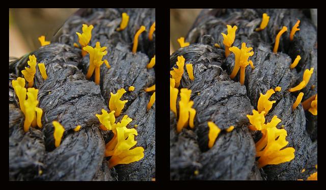 Dacryopinax spathularia. Jelly fungus.