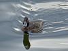 Tufted Duck (Aythya fuligula) by Francisco Piedrahita
