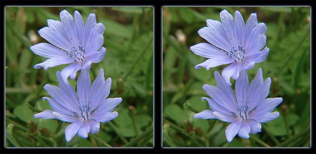 Chicory Duet - Crosseye 3D