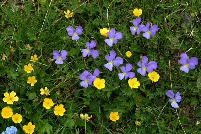 Giallo e viola (yellow & purple)