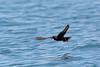 Black Storm-Petrel, offshore Puerto Angel, Oaxaca, Mexico by Terathopius