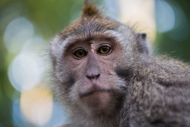 Macaque monkey in Bali