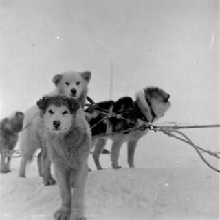 Dog team / Attelage de chiens