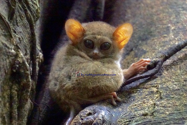 Tarsius is a genus of tarsiers, small primates native to islands of Southeast Asia
