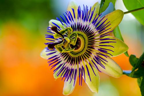 Passiflora Portrait