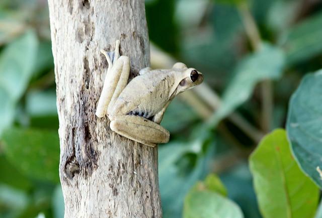 Sapo-martelo ou sapo-ferreiro ((Hypsiboas faber). Registro feito pelo grupo OBSERVAS - Observação e Registro da Vida Selvagem.Vida Selvagem Brasil.