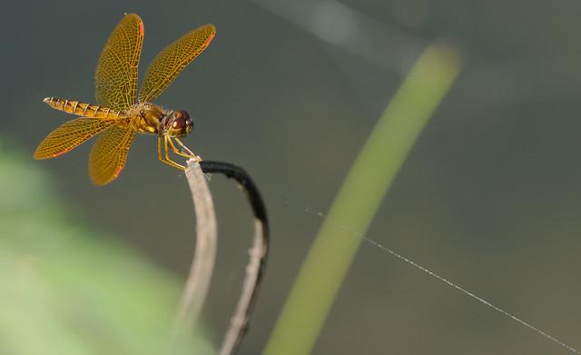 Golden Dragonfly Kite