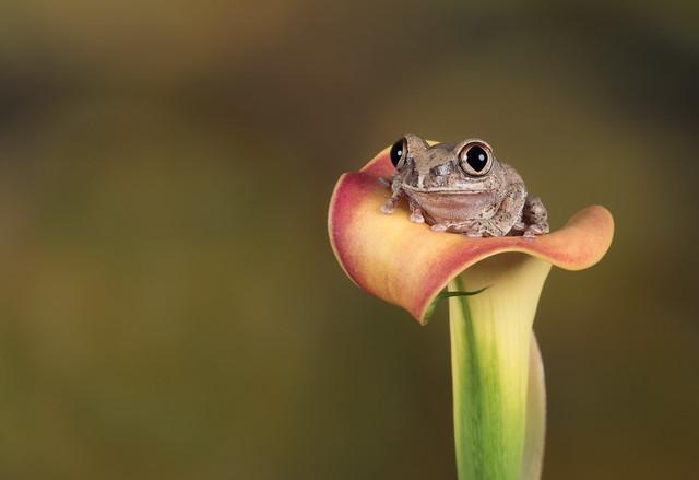 Big eyed forest tree frog (Explored)