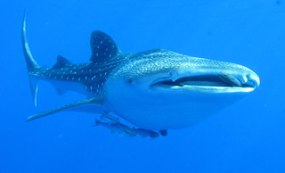 Whale shark, Rhincodon typus, at Daedalus in the Egyptian Red Sea.   by Derek Keats