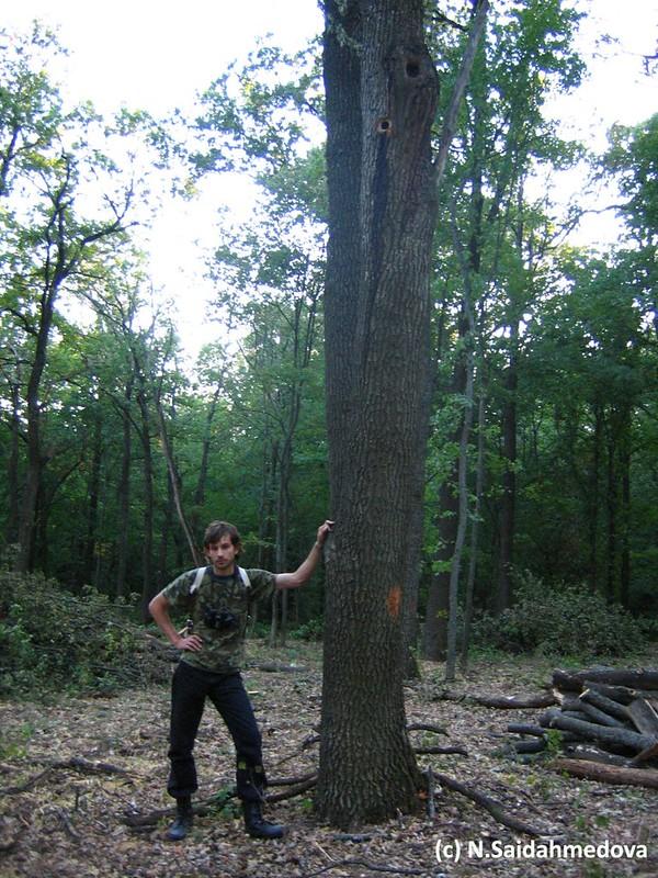 Дерево (дуб) с дуплом, заселенным рыжими вечерницами, вымеченное под рубки