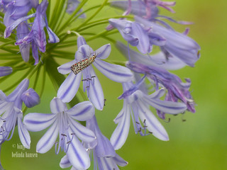 Agapanthus and heliotrope moth_ | by binjy