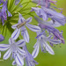 Agapanthus and heliotrope moth_