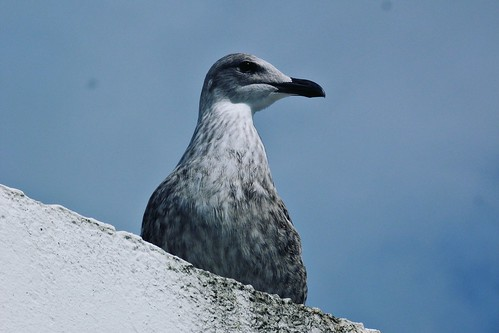 Sea gull | by treehouse1977