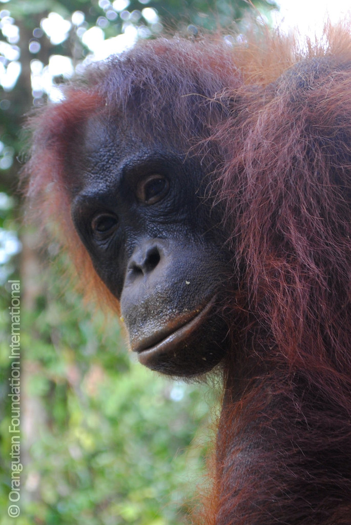 Looking into the calm, unblinking eyes of an orangutan we see...