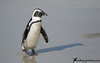 African Penguin by Guillermo V Soto