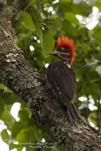 Carpintero grande (Robust Woodpecker) Campephilus robustus | by aves del nea