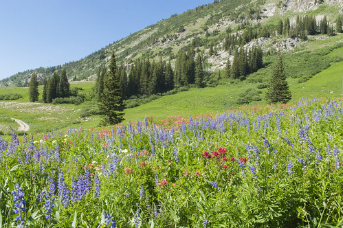 Wildflower Season in Albion Basin | by aaronrhawkins