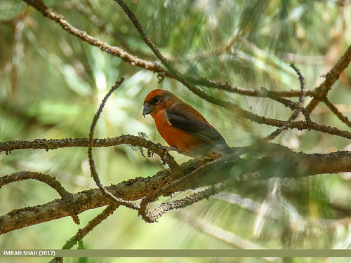 Red Crossbill (Loxia curvirostra) | by gilgit2