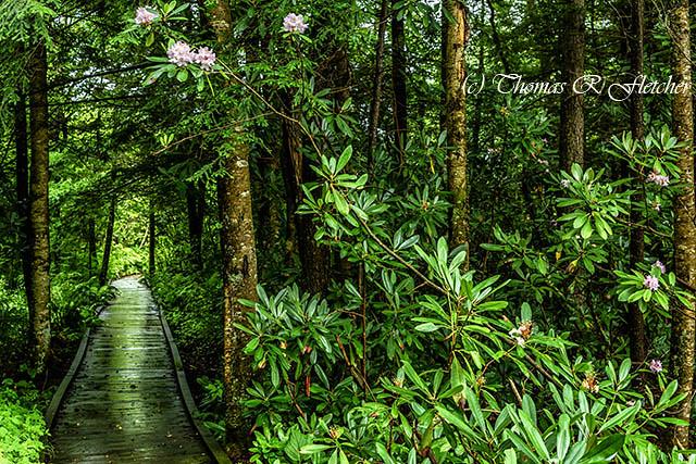 Cranberry Glades Boardwalk