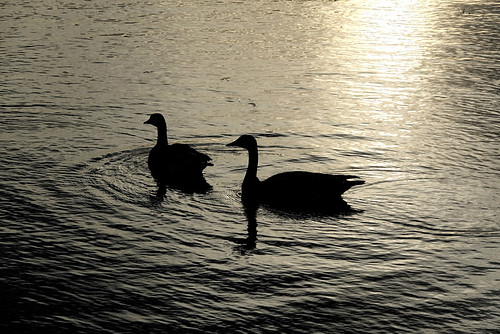 geese birds water lake sunshine earlymorning silhouettes