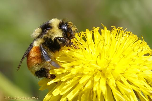 Bumble bee (Bombus huntii) gathers nectar