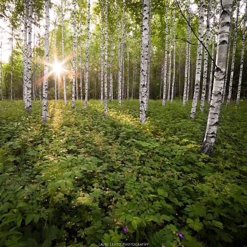 birch summer forest view landscape nature plants sunrise sun morning suomi finland jyväskylä kortesuo nikon d610 samyang 14mm naturephotography laurilehtophotography instagram kesä 2017 metsä koivu