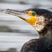 Australasian Great Cormorant - Photo (c) Kazredracer, some rights reserved (CC BY-NC-ND)