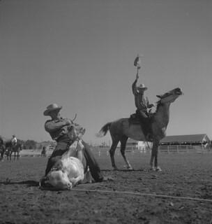 An unidentified cowboy competes in cattle roping, Calgary Stampede, Alberta / Cowboy non identifié en pleine compétition de prise du bétail au lasso, Stampede de Calgary (Alberta)
