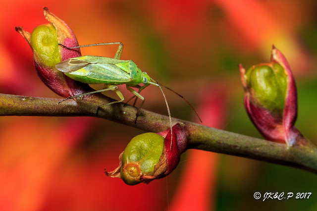 Green Bug on Crocosmia.