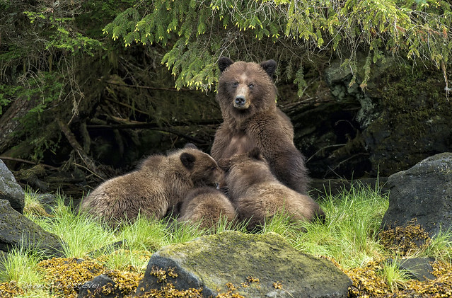Mealtime! These grizzly bear cubs, about 17 months old, still depend on Mom for a portion of their nourishment