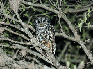 Chaco Owl | by nickathanas