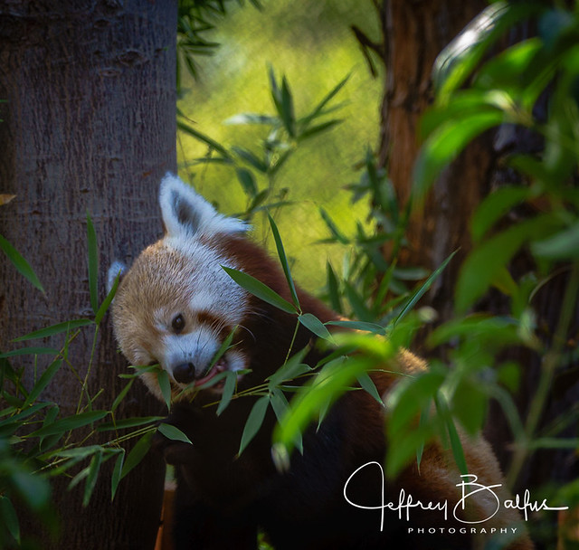 Red Panda snacking on bamboo leaves