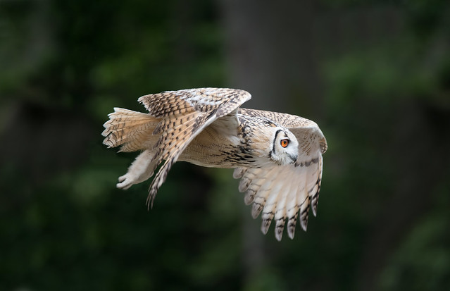 Rock Eagle Owl  'Bubo bengalensis' in Flight