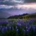 Lupine Sunset With Olympics At Sunset_720