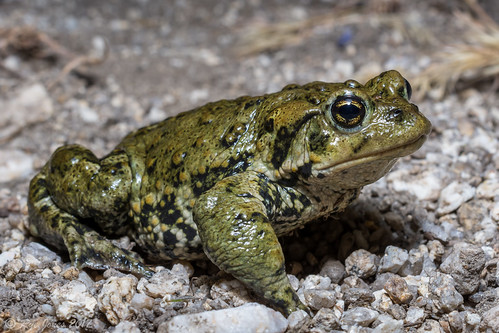 Boreal Toad-Anaxyrus boreas boreas | by Rye Jones