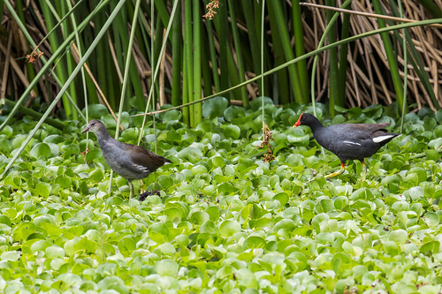 Common Gallinule | by nickathanas