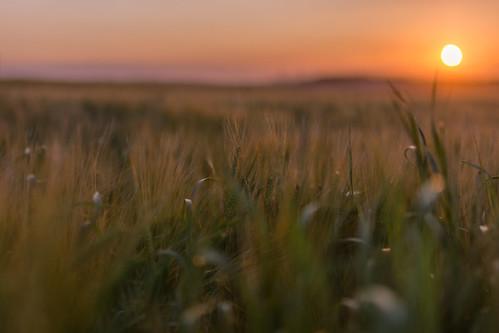 gold golden sun sunset wheat field fife scotland nikon d7200 sigma350mmf14 bokeh